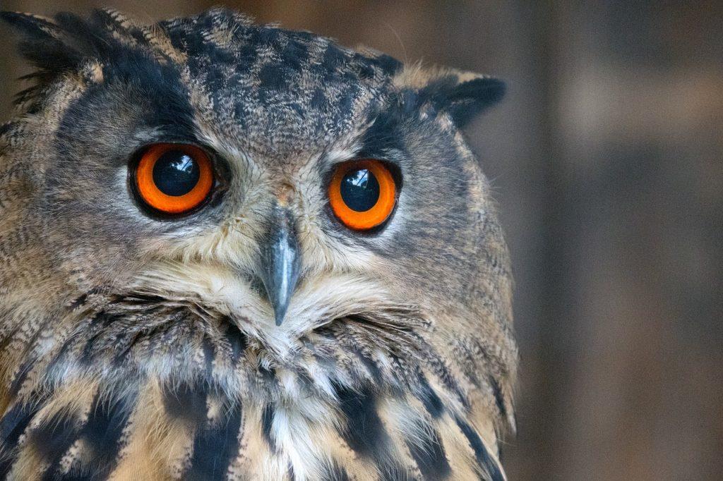 eagle owl, owl, raptor